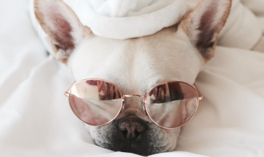 Dog laying in bed with sunglasses on
